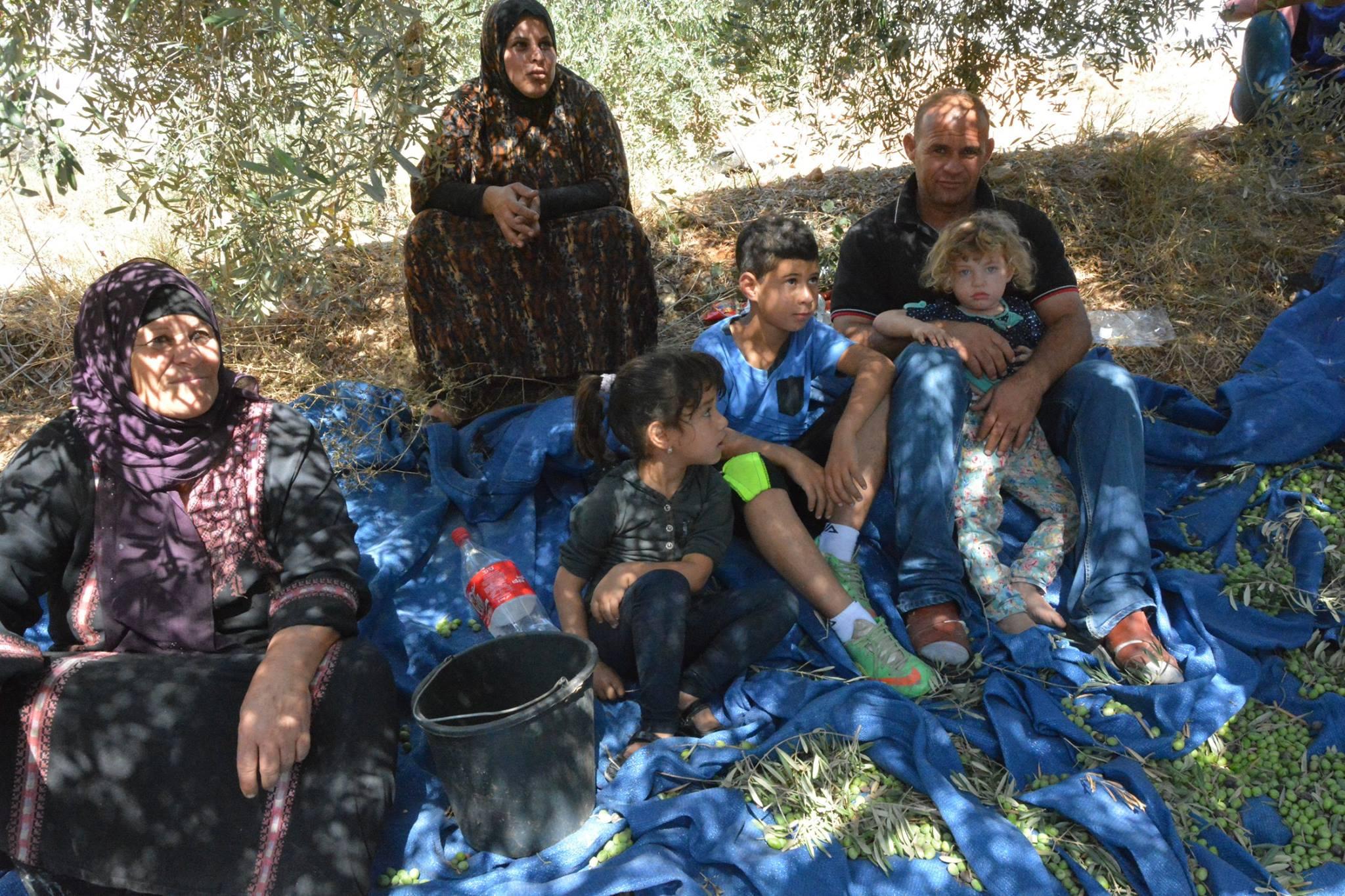 Ramassage des olives dans la famille de Bassem, Bil'in